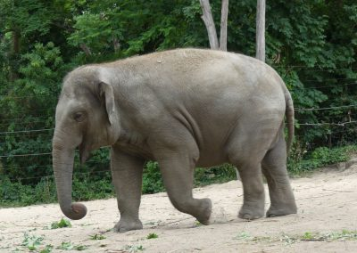 Elefant-Zoo-Berlin-26.06.2020
