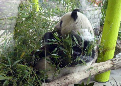Panda-Meng-Meng-Zoo-Berlin-26.06.2020