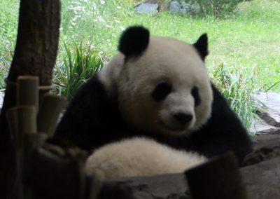 Panda-Meng-Meng-Zoo-Berlin