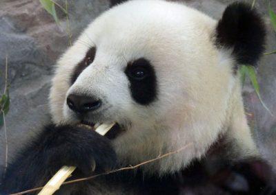 Panda-Meng-Meng_Zoo-Berlin-26.06.2020