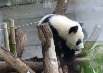 Panda-Pit-oder-Paule-kletternd-Zoo-Berlin