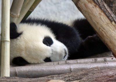 Panda-Pit-oder-Paule-schlafend-Zoo-Berlin