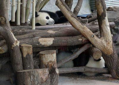 Pandazwillinge-Zoo-Berlin