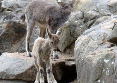 Steinbock-Jungtiere-Zoo-Berlin-26.06.2020