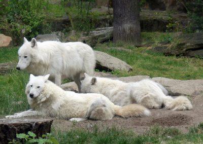 Wölfe-mit-zwei-Junge-Zoo-Berlin