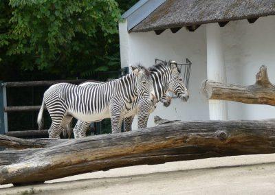 Zebras-Zoo-Berlin-26.06.2020